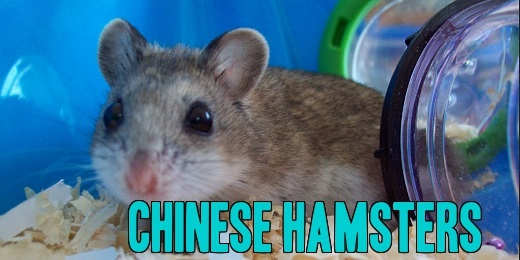 Chinese Hamsters